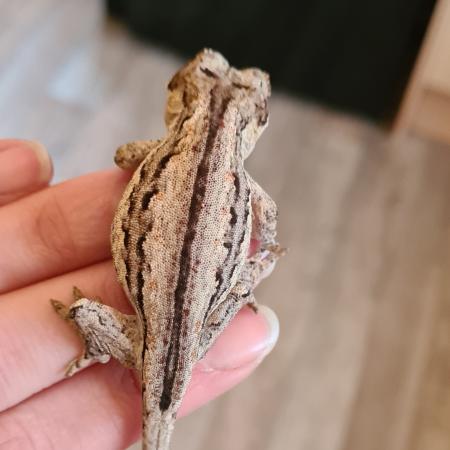 Image 3 of Gargoyle Gecko