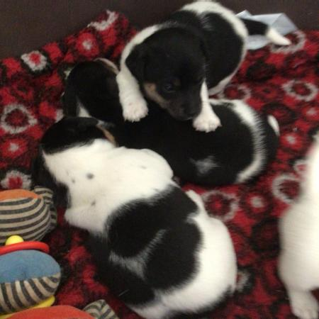 Image 3 of Jack Russell Pups