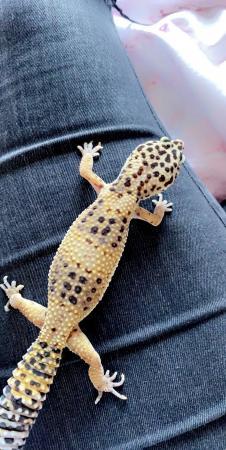 Image 1 of Gecko