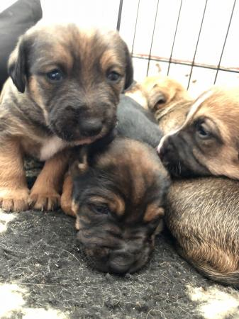 Image 3 of Border terrier x puppies for sale.