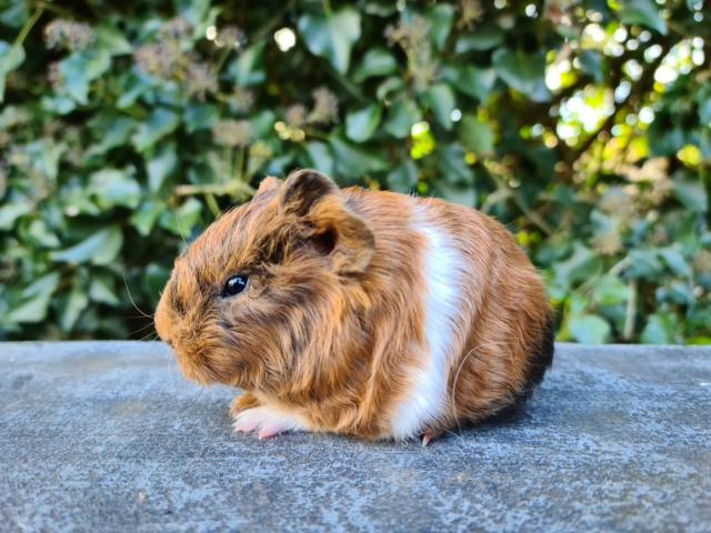 Preview of the first image of Guinea Pig.