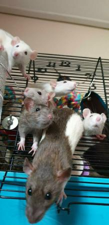 Image 2 of Tame Young/baby rats for sale (guaranteed tame)