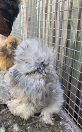 Image 1 of Silkie Pot luck hatching eggs