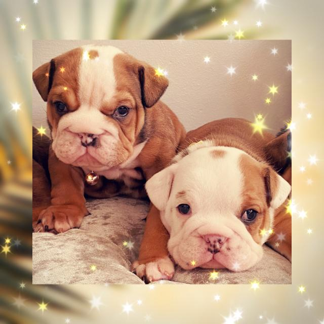 Preview of the first image of Stunning kc reg British bulldog pups.