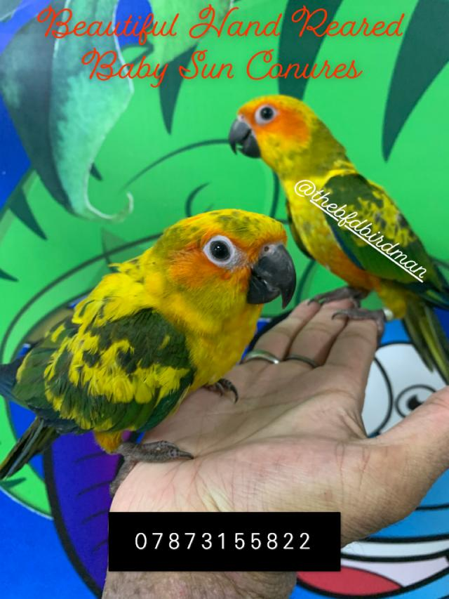 Preview of the first image of Stunning Hand Reared Baby Sun Conures.