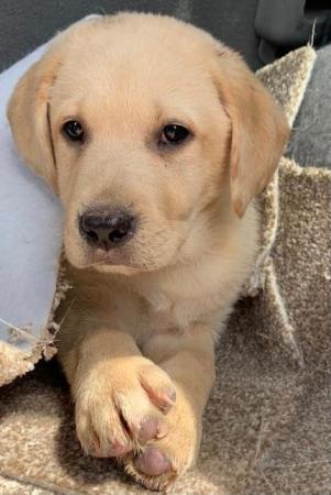 Image 2 of Labrador puppy's