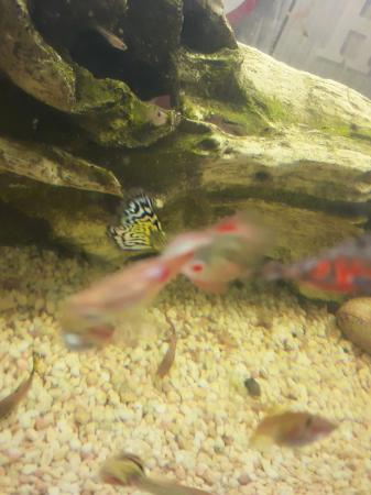 Image 6 of fantail endlers guppys assorted species fish