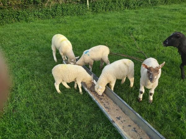 Image 4 of Weaned ram lambs 12 weeks aprox.
