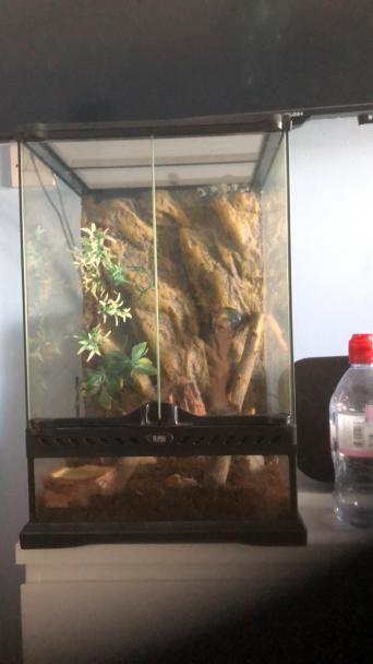 Tree Frog Reptiles Rehome Buy And Sell In Swansea Preloved