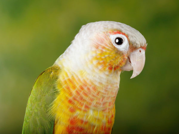 Image 1 of WANTED.  Adult male Pineapple Conure