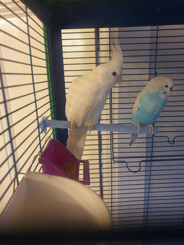 Preview of the first image of Albino Cockatiels.