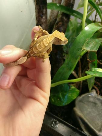 Image 2 of Harlequin Partial Pin Crested Gecko (B)