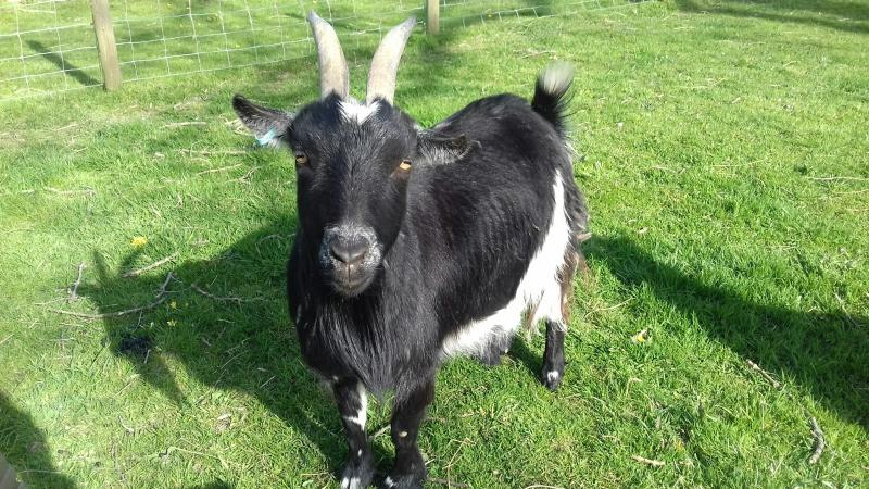 Image 2 of Two friendly goats for sale