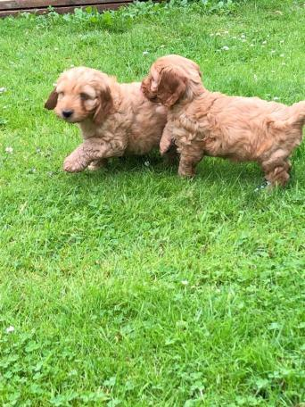 cockapoo - Dogs & Puppies, Rehome Buy and Sell in Hoddesdon