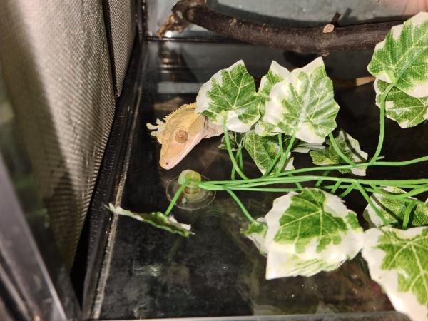 Image 2 of proven olive male crested gecko