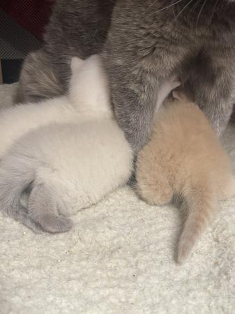 Image 3 of British shorthaired kittens