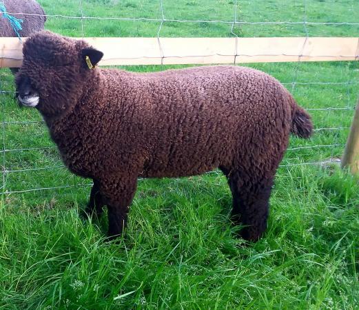Image 1 of Malt Kiln Coloured Ryeland Flock 2021 lambs