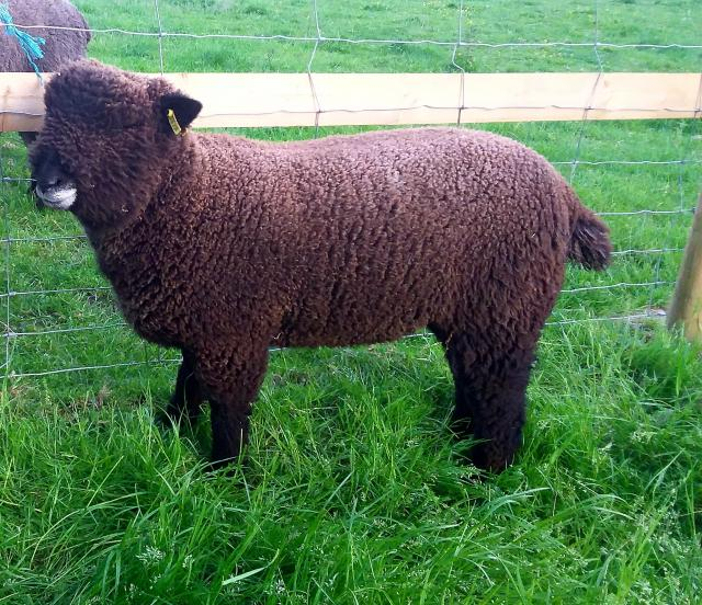 Preview of the first image of Malt Kiln Coloured Ryeland Flock 2021 lambs.