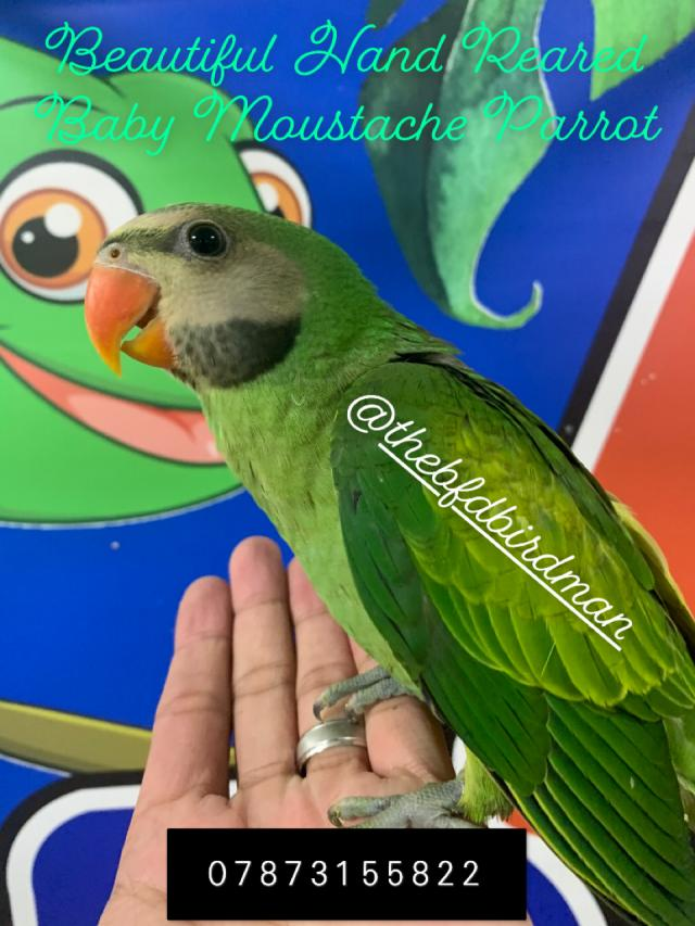 Preview of the first image of Stunning Hand Reared Baby Moustache Parrot.
