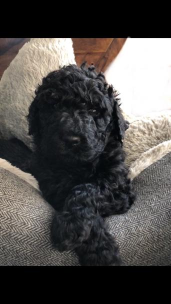 spoodle or springerpoo or poodle - Dogs & Puppies, Rehome