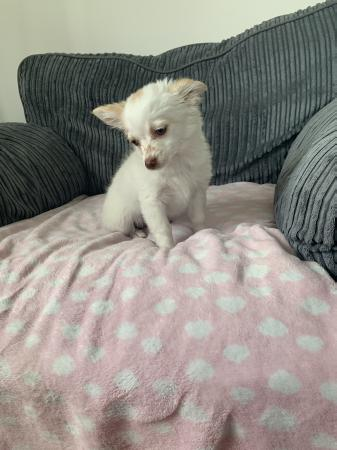 Stunning Tiny Chihuahua Puppies One Blue Merle For Sale In Torquay