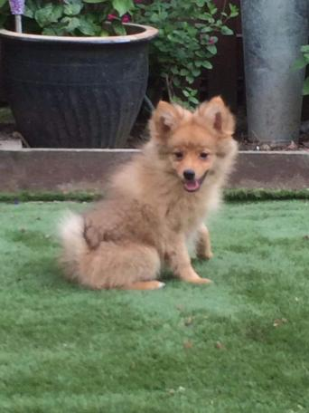 pomeranian - Dogs & Puppies, For Sale in London | Preloved