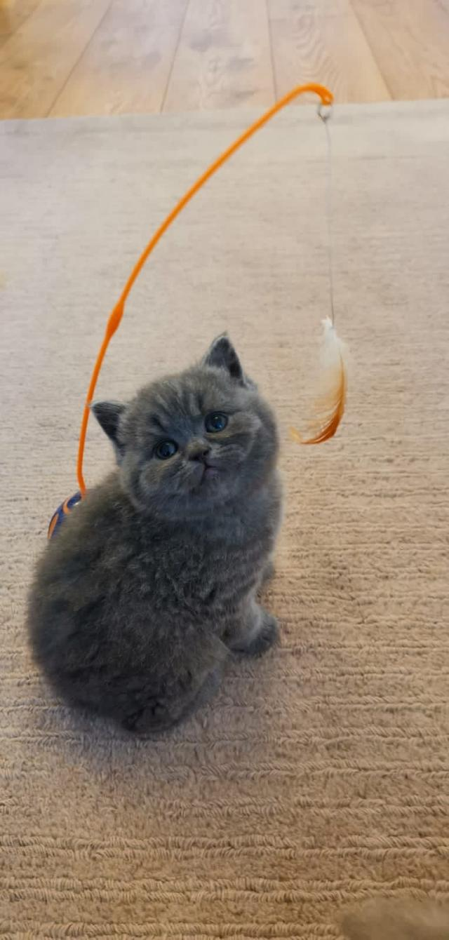 Preview of the first image of British shorthair kittens - Ready now.