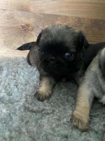 Image 3 of Pug puppies