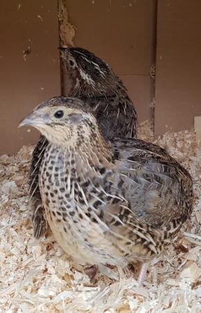 Image 3 of Quail hatching eggs