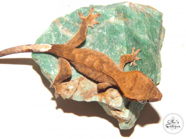 Preview of the first image of Unsexed bicoloured crested gecko.