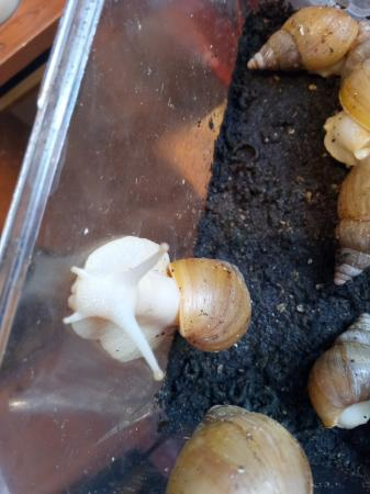 Image 1 of giant african land snails albino