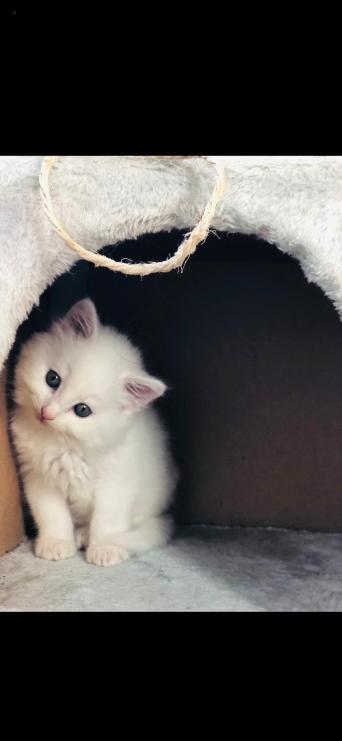 83ffb0a290 turkish angora - Cats   Kittens
