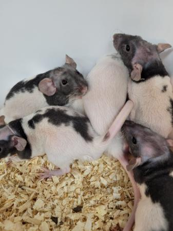 Image 1 of Double Rex rats (patchwork hairless)