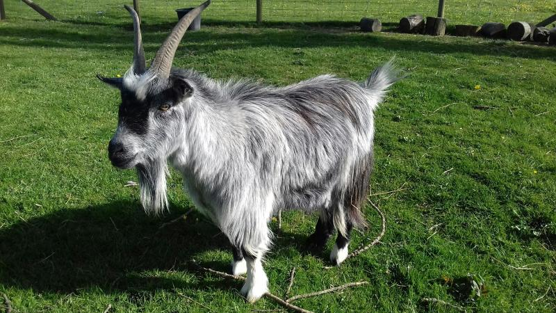 Image 3 of Two friendly goats for sale