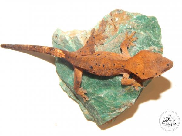 Image 1 of Unsexed orange Dalmatian crested gecko