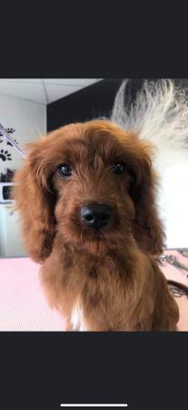 Image 5 of Kennel Club registered Red miniature poodle for stud