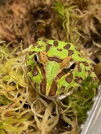 Image 3 of Pac-Man Frog (Horned Frog)