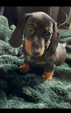 Image 2 of Miniature dachshund puppy