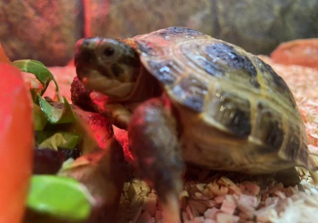 Preview of the first image of Baby horsefield tortoises.