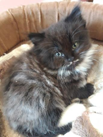 persian kittens - Cats & Kittens, Rehome Buy and Sell   Preloved
