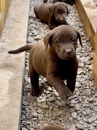 Image 1 of Pure chocolate Labrador puppies