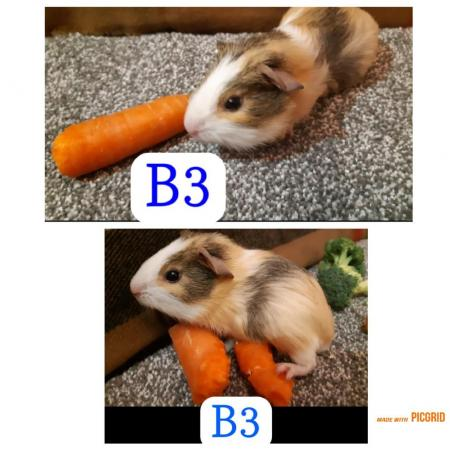 Image 10 of guinea pigs all sexes please see pics