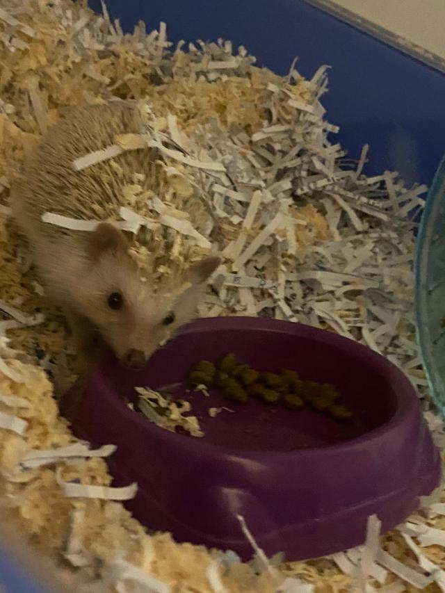 Preview of the first image of African Pygmy Hedgehog Male 1 year old.