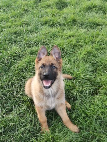 stunning german shepherd - Local Classifieds, For Sale