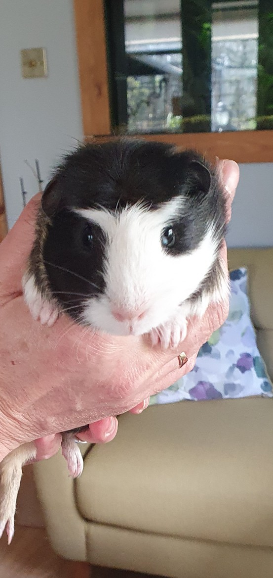 Preview of the first image of guinea pigs babies ready now.