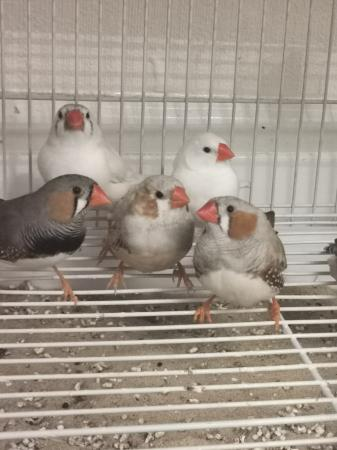 Image 2 of Zebra finches available males and females
