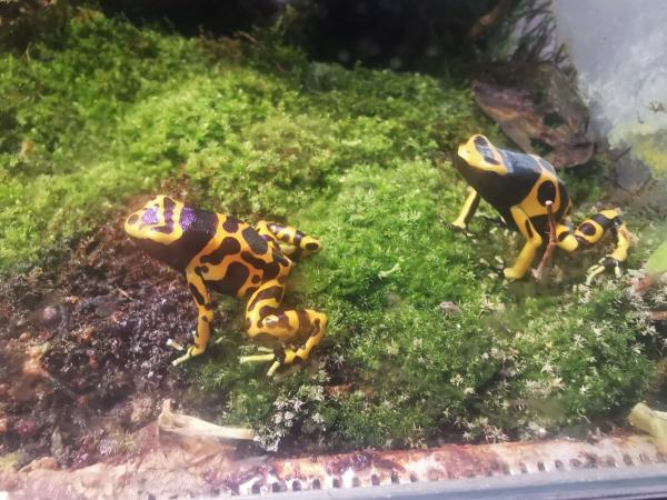 Image 4 of Golden Mint Phyllobates terribilis leucomelas Dart frogs
