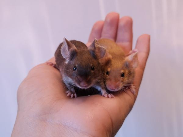 Image 2 of Pet Mice