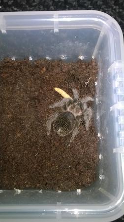 Image 3 of Tarantulas Sale