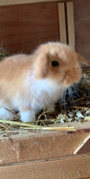 Rabbits For Sale In Grantham Preloved